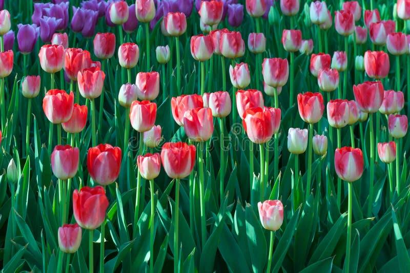 Flor del campo del tulipán en un día soleado de la primavera, rojo y amarillo, flowe foto de archivo libre de regalías