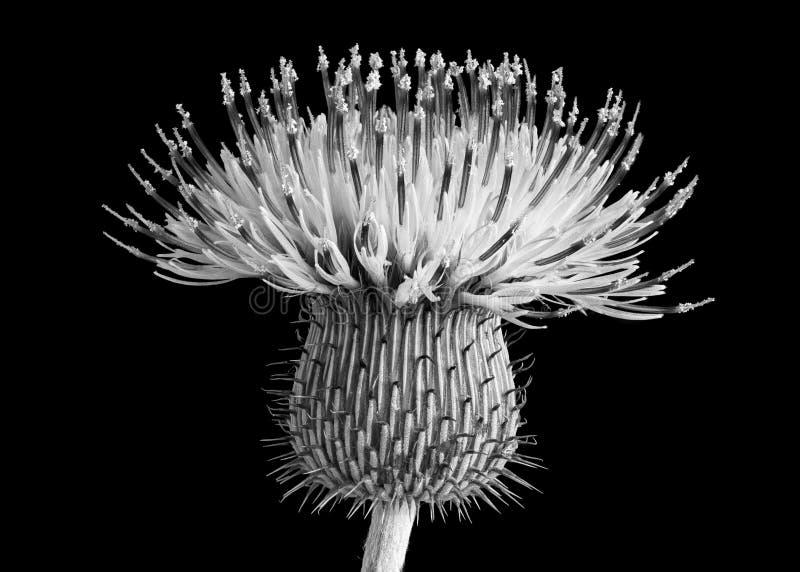 Flor del cardo de Bull imagenes de archivo