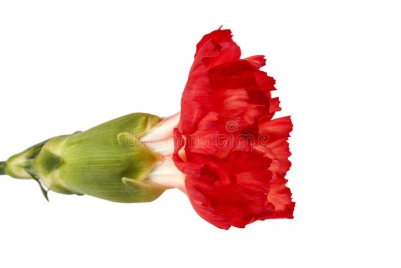 Flor del caryophyllus rojo del clavel del clavel aislada en el fondo blanco foto de archivo libre de regalías