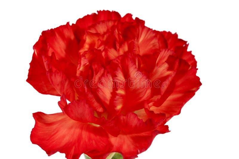 Flor del caryophyllus rojo del clavel del clavel aislada en el fondo blanco imágenes de archivo libres de regalías