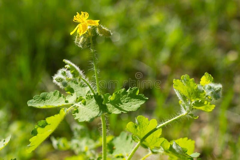 Flor del celandine fotografía de archivo libre de regalías