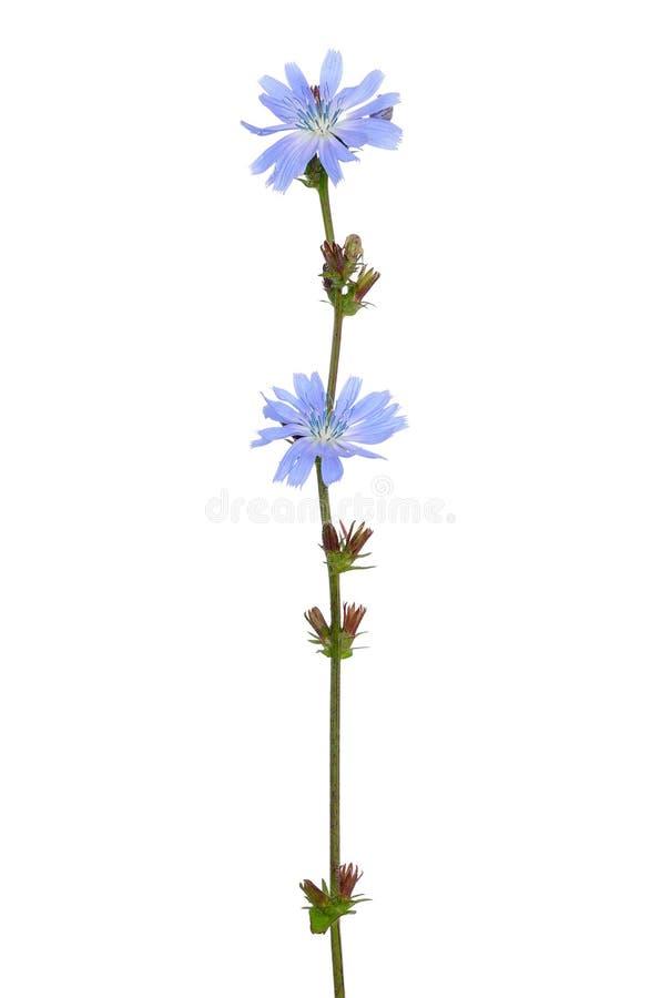 Flor del Cichorium imágenes de archivo libres de regalías