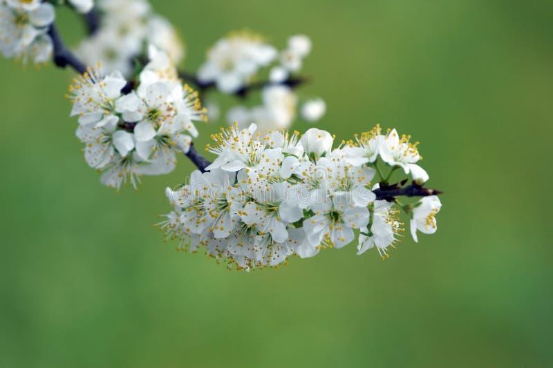Flor del ciruelo imagen de archivo