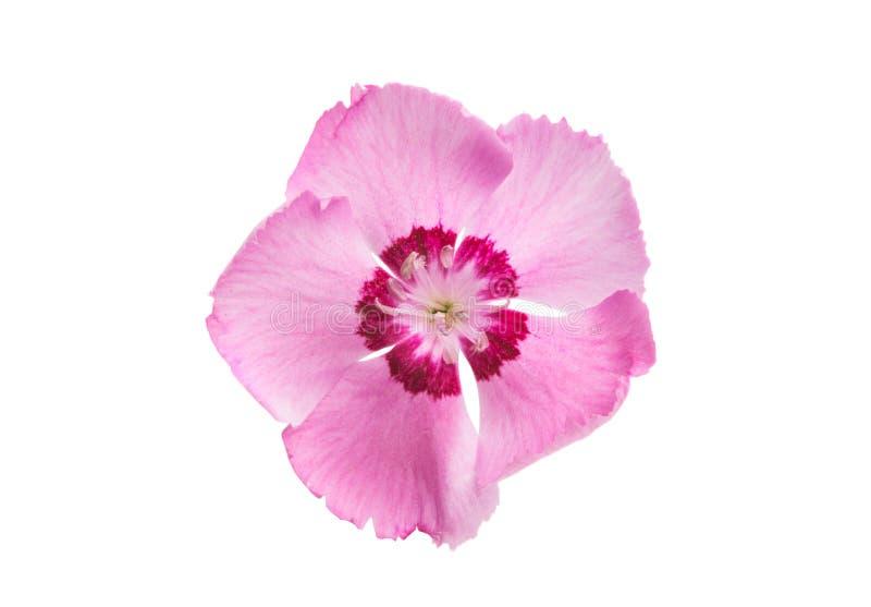 Flor del clavel aislada imágenes de archivo libres de regalías