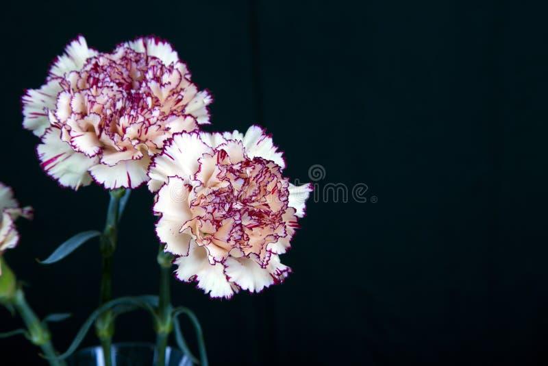 Flor del clavel en el fondo negro, flores amarillas, primavera fotos de archivo libres de regalías