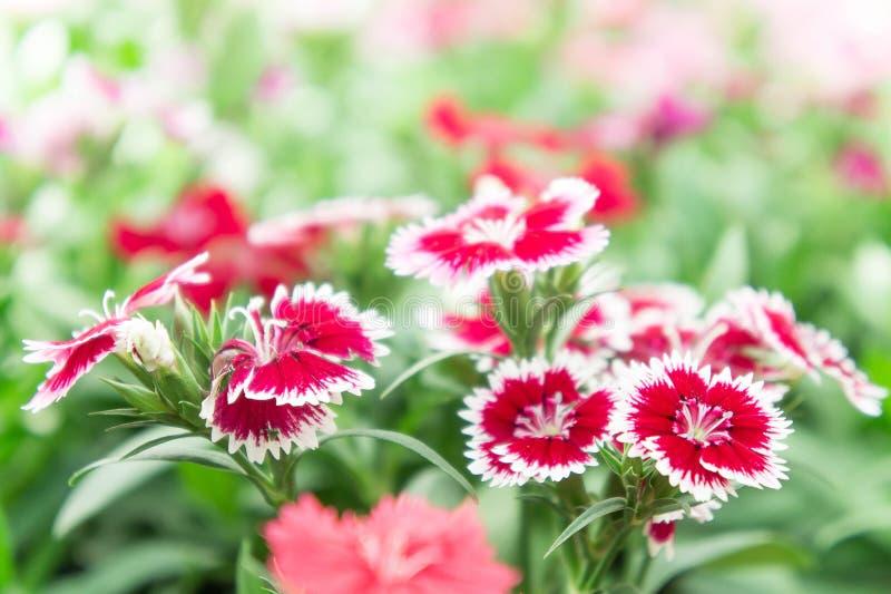 Flor del clavel en las flores hermosas del jardín foto de archivo