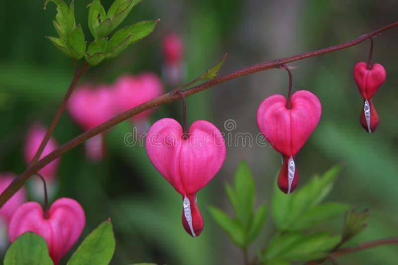 Flor del corazón de sangría foto de archivo libre de regalías