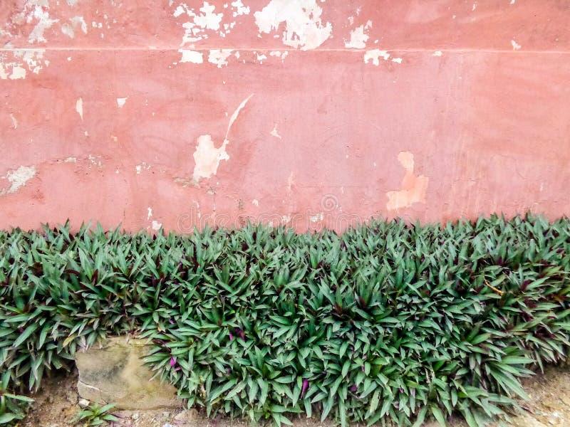 Flor del corazón púrpura por la pared de la cerca foto de archivo libre de regalías