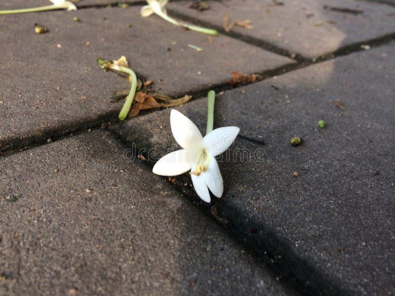 Flor del corcho fotos de archivo