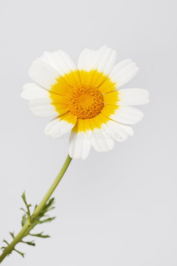 Flor del coronarium del crisantemo foto de archivo