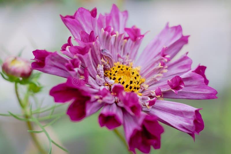 Flor del cosmo del rosa de Fushia fotos de archivo