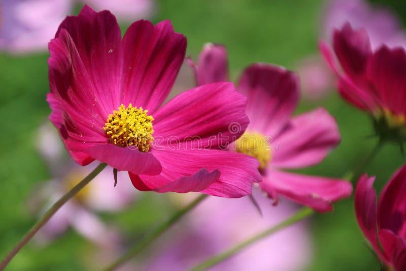 Flor del cosmos fotos de archivo