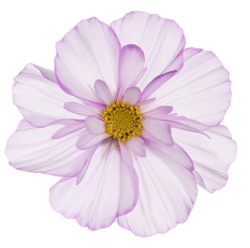 Flor del cosmos imágenes de archivo libres de regalías
