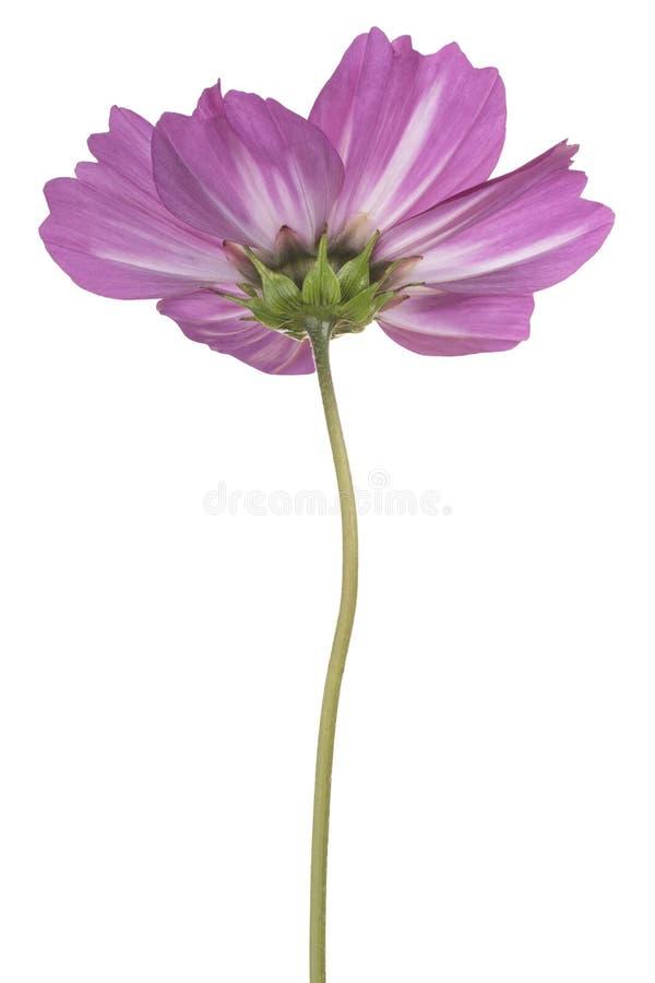 Flor del cosmos aislada imagen de archivo