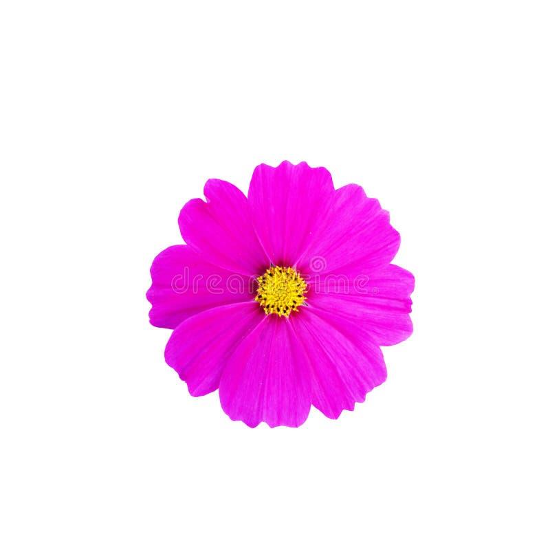 Flor del cosmos aislada en el fondo blanco foto de archivo