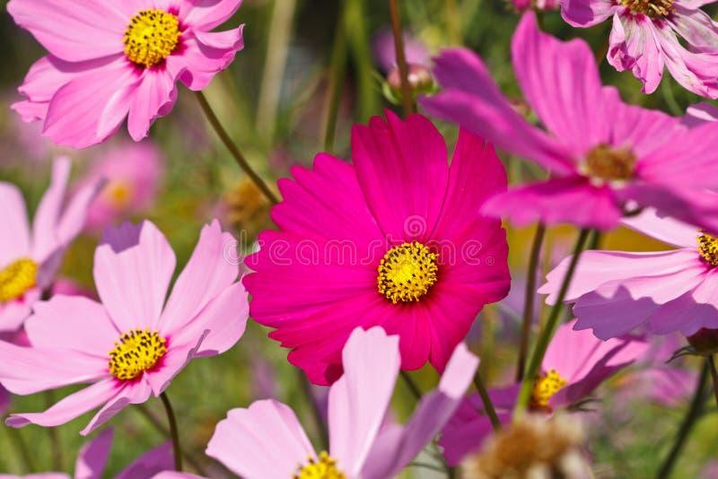 Flor del cosmos, campo de flor colorido en invierno fotografía de archivo