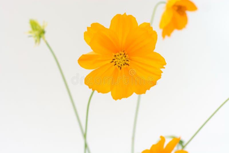 Flor del cosmos como fondo del blanco del aislante imagen de archivo