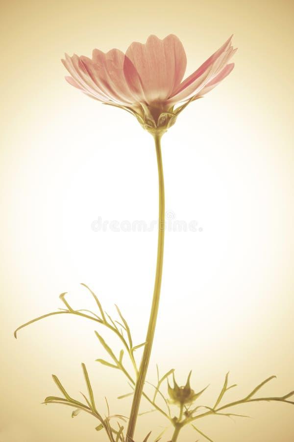Flor del cosmos del vintage fotos de archivo