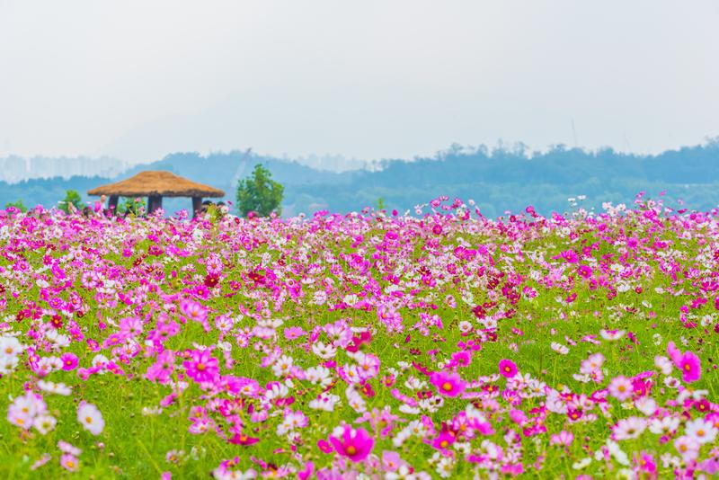 Flor del cosmos en Seul, Corea fotografía de archivo