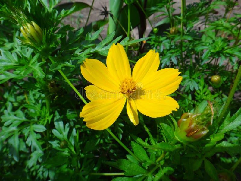 Flor del cosmos del jardín imagen de archivo libre de regalías