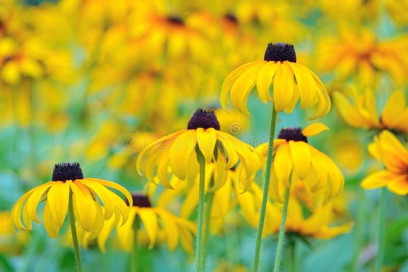 Flor del crisantemo imagen de archivo