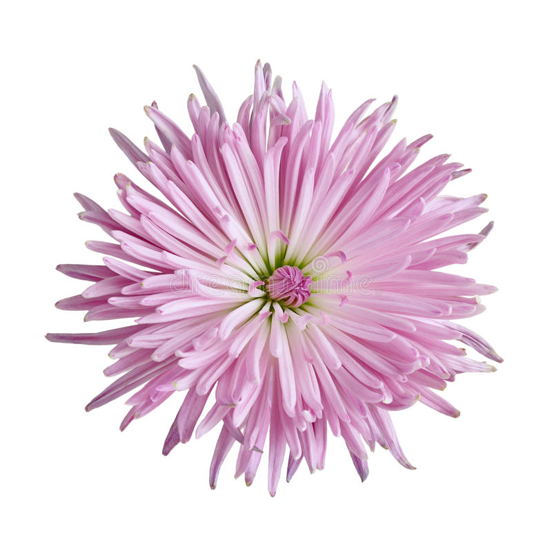 Flor del crisantemo foto de archivo