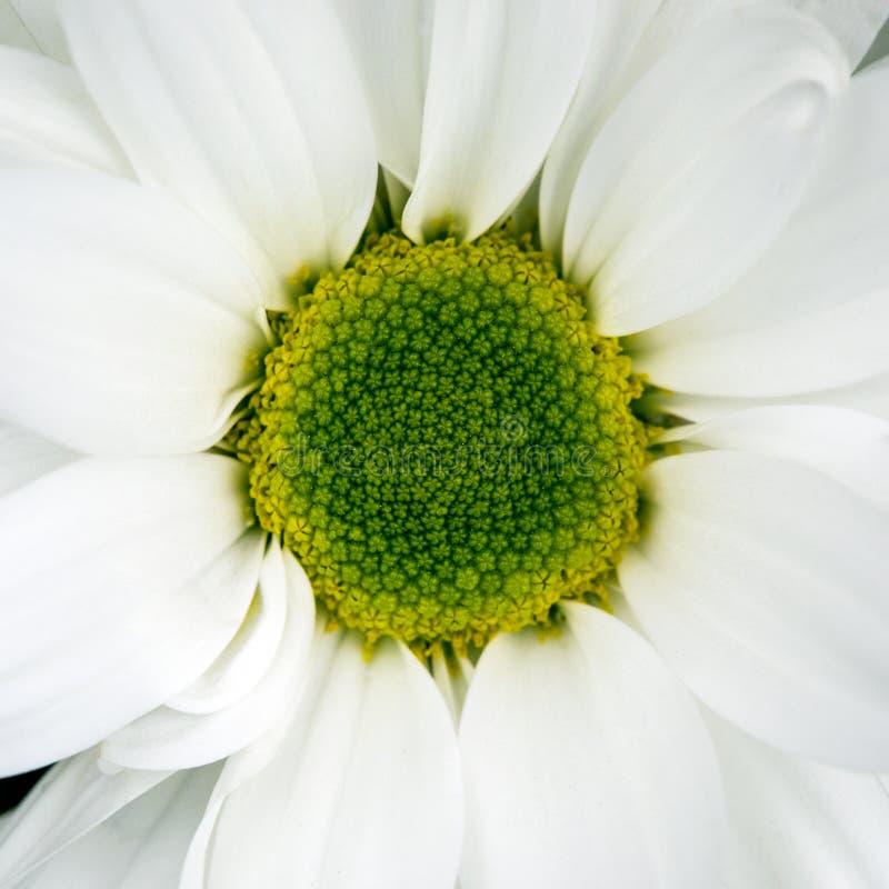 Flor del crisantemo imagen de archivo libre de regalías