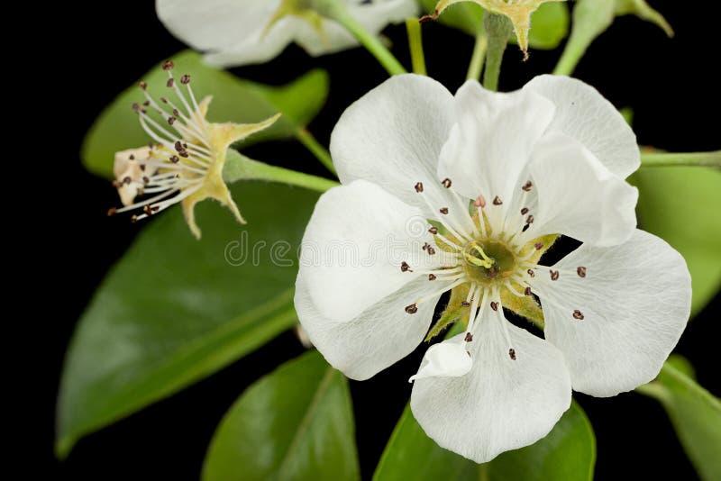Flor del flor de la pera en negro fotografía de archivo
