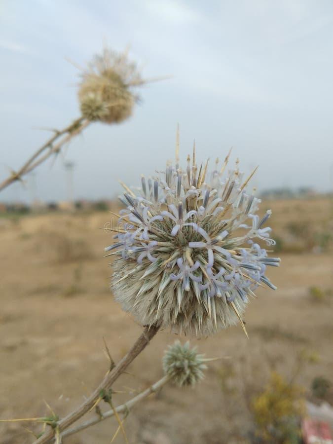 Flor del desierto foto de archivo