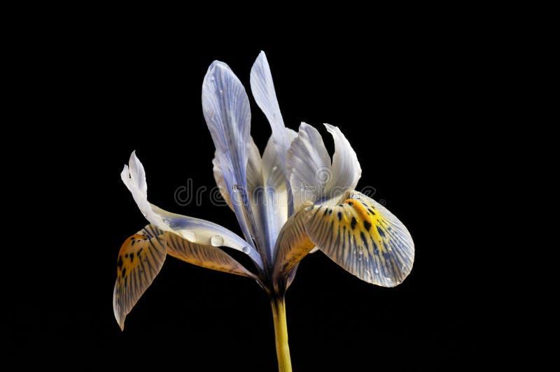 Flor del diafragma enano, âKatherine Hodgkinâ imagen de archivo libre de regalías
