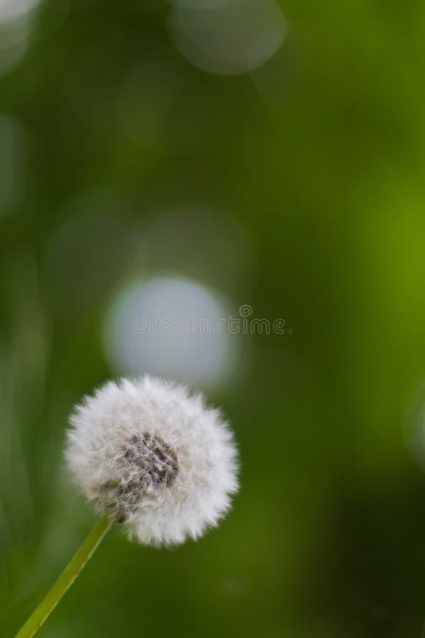 Flor del diente de león fotografía de archivo libre de regalías