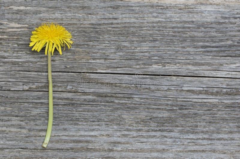 Flor del diente de león en el tablero de madera rústico imagen de archivo libre de regalías