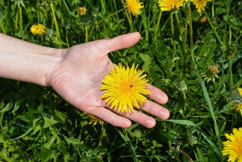 Flor del diente de león en la palma imágenes de archivo libres de regalías