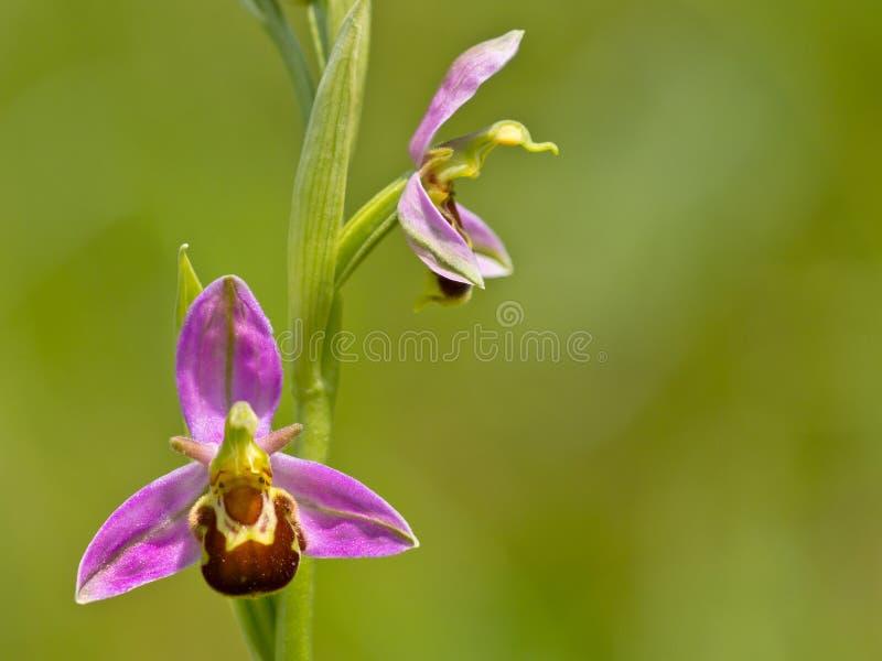 Flor del doble de la orquídea de abeja fotos de archivo libres de regalías