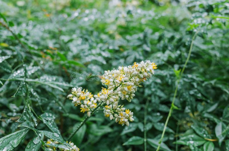 Flor del domestica de Nandina que florece en verano fotografía de archivo libre de regalías