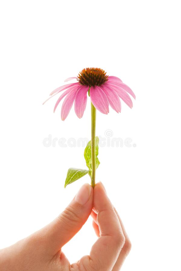 Flor del Echinacea aislada en blanco foto de archivo libre de regalías