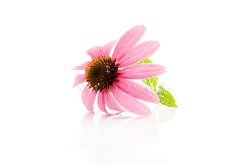Flor del Echinacea en blanco foto de archivo