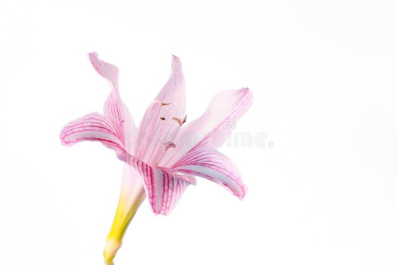 Flor del entierro del johnsonii de Hippeastrum o flor del Amaryllidaceae fotografía de archivo