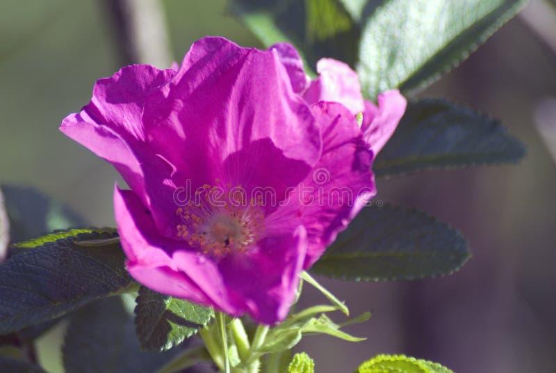 Flor del escaramujo de la perro-rosa en un arbusto cubierto por las gotas de agua fotos de archivo libres de regalías