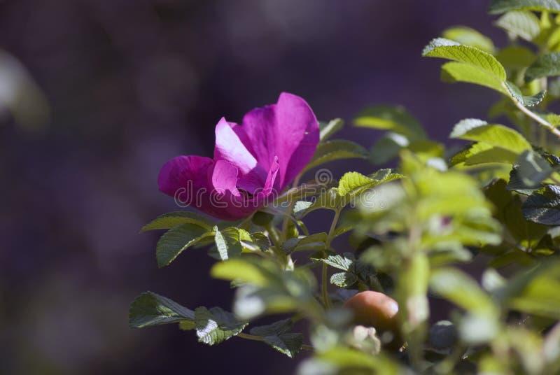 Flor del escaramujo de la perro-rosa en un arbusto cubierto por las gotas de agua foto de archivo libre de regalías