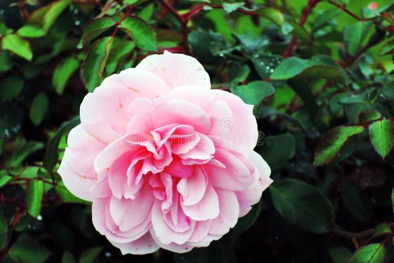 Flor del escaramujo en un arbusto, fondo borroso de la perro-rosa imagen de archivo
