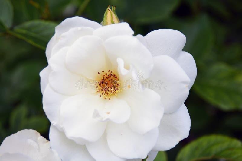Flor del escaramujo en un arbusto, fondo borroso de la perro-rosa imagenes de archivo