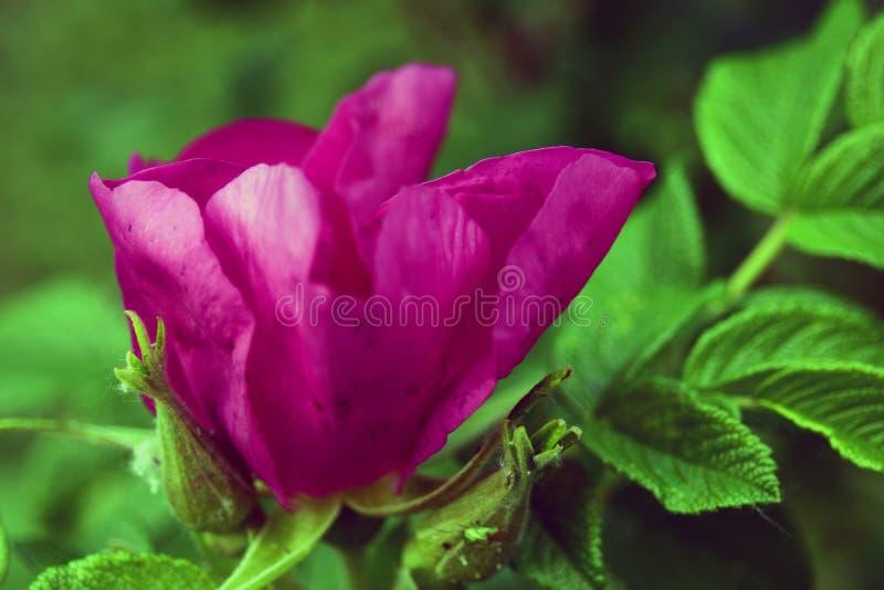 Flor del escaramujo en un arbusto, fondo borroso de la perro-rosa fotografía de archivo