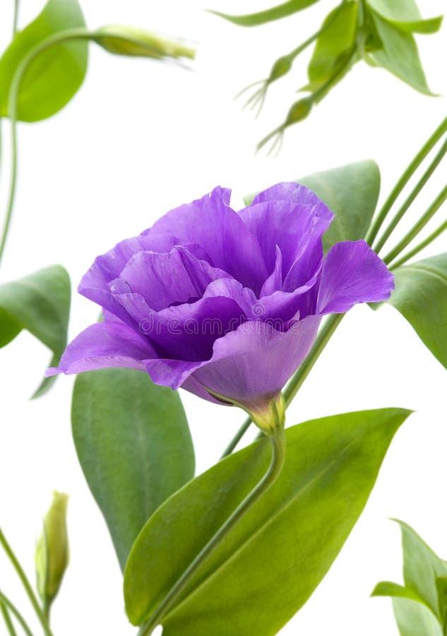 Flor del Eustoma imágenes de archivo libres de regalías