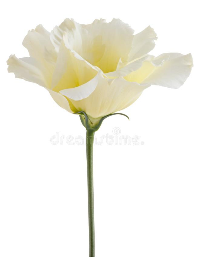 flor del eustoma aislada en el fondo blanco imagen de archivo