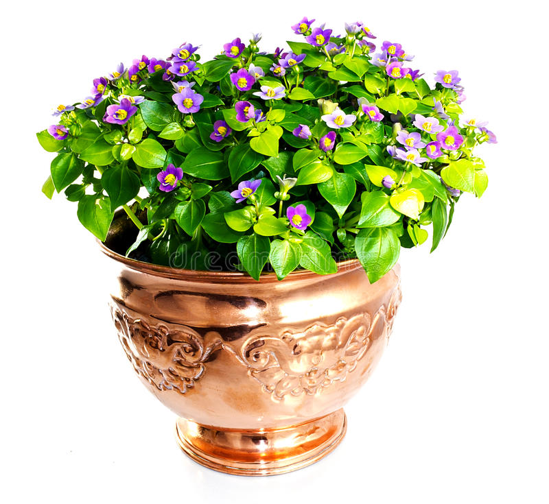 Flor del Exacum en el florero de cobre foto de archivo