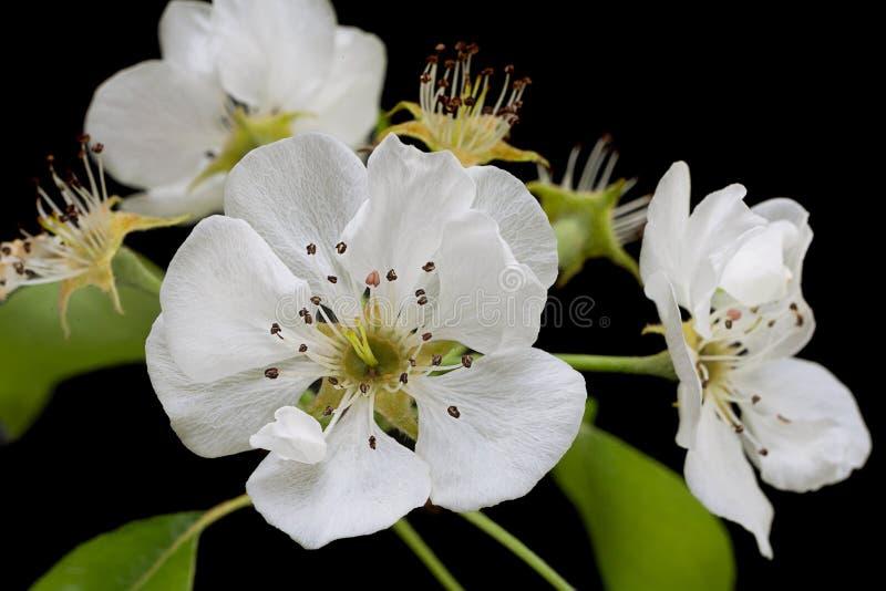 Flor del flor de la pera en negro imágenes de archivo libres de regalías