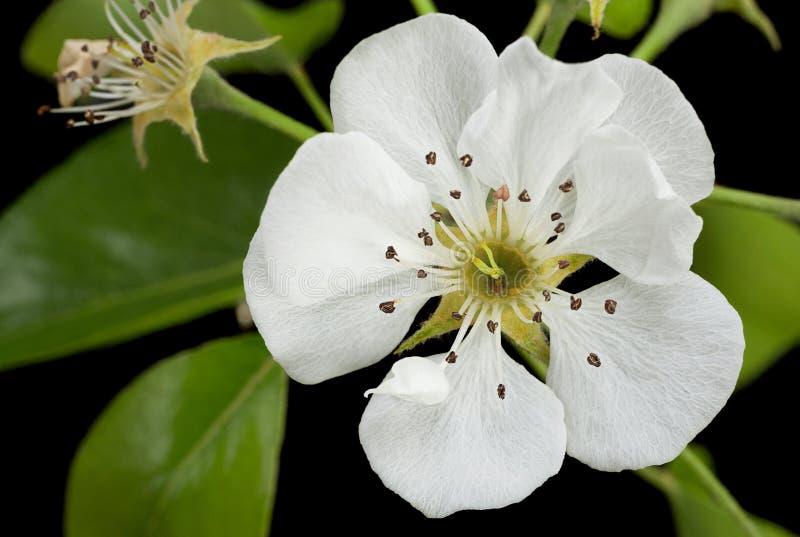 Flor del flor de la pera en negro imagen de archivo libre de regalías