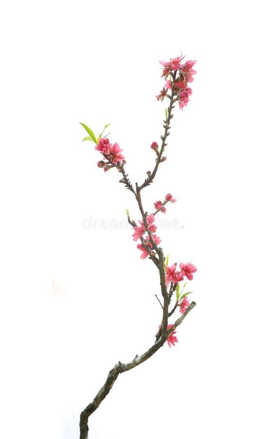 Flor del flor del melocotón foto de archivo libre de regalías