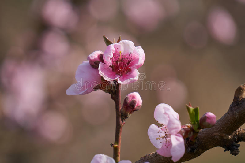 Flor del flor del melocotón en primavera fotos de archivo